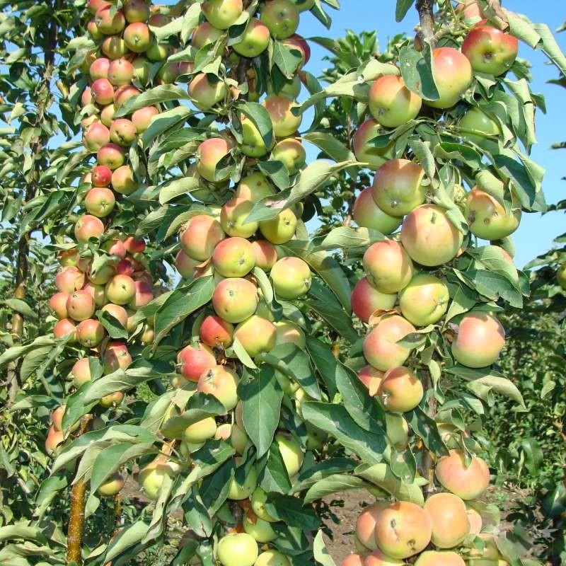 низкорослые плодовые деревья для сада фото и названия поступил академию художеств