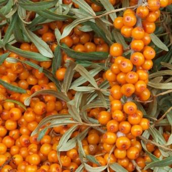 Облепиха крушиновидная Frugana - Облепиха - GardenPlants