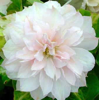 Купить Клематис Dancing Dorien - Клематис - GardenPlants